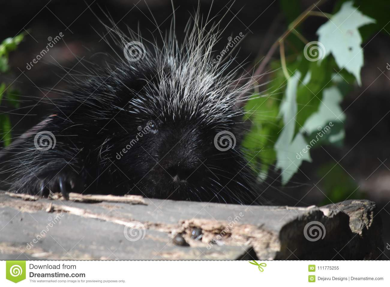 Close up on a wild porcupines face while its climbing over a log