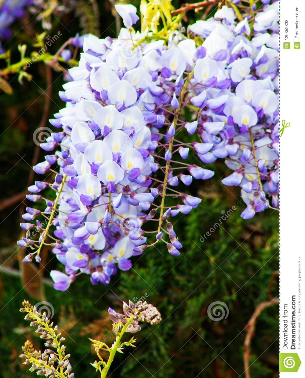 Close Up Of Wisteria Blue Moon In Bloom Cluster Of Blue Flowers