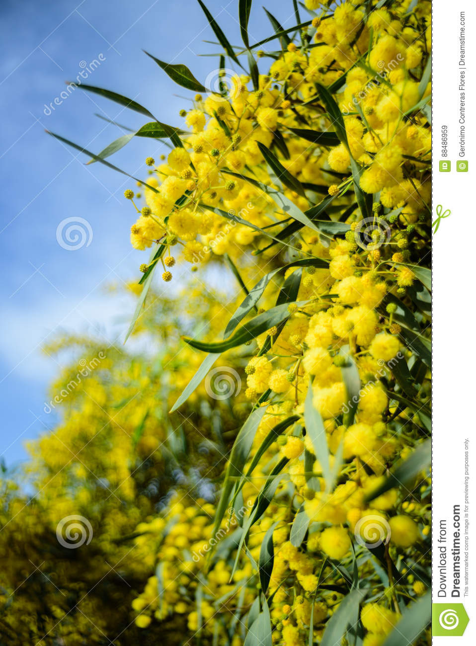 Close Up Of Yellow Acacia Tree On The Nature Stock Image Image Of
