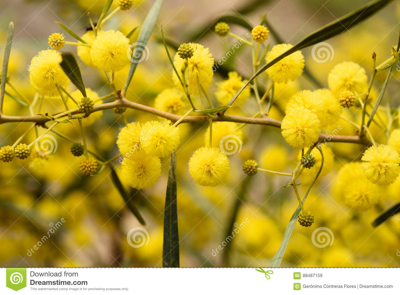 Close Up Of Yellow Acacia Tree On The Nature Royalty Free