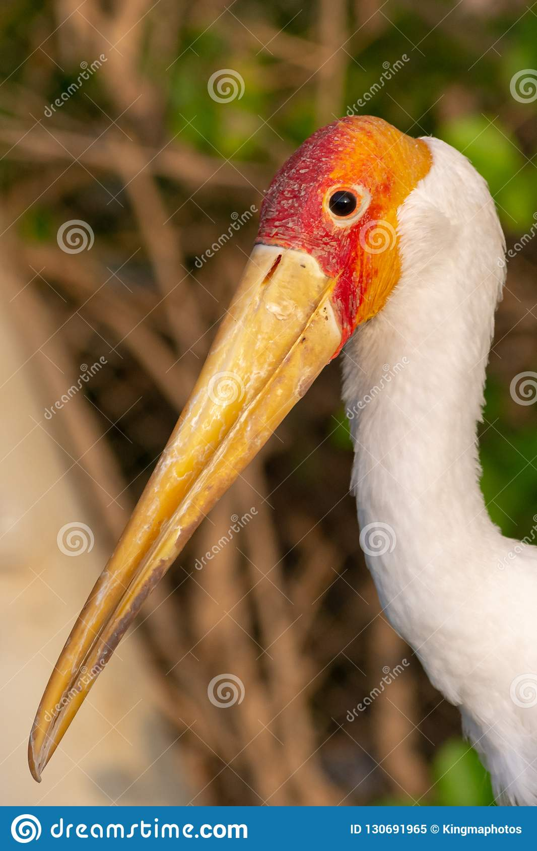 A close up of a Yellow-Billed Stork shows off its beak at sunset