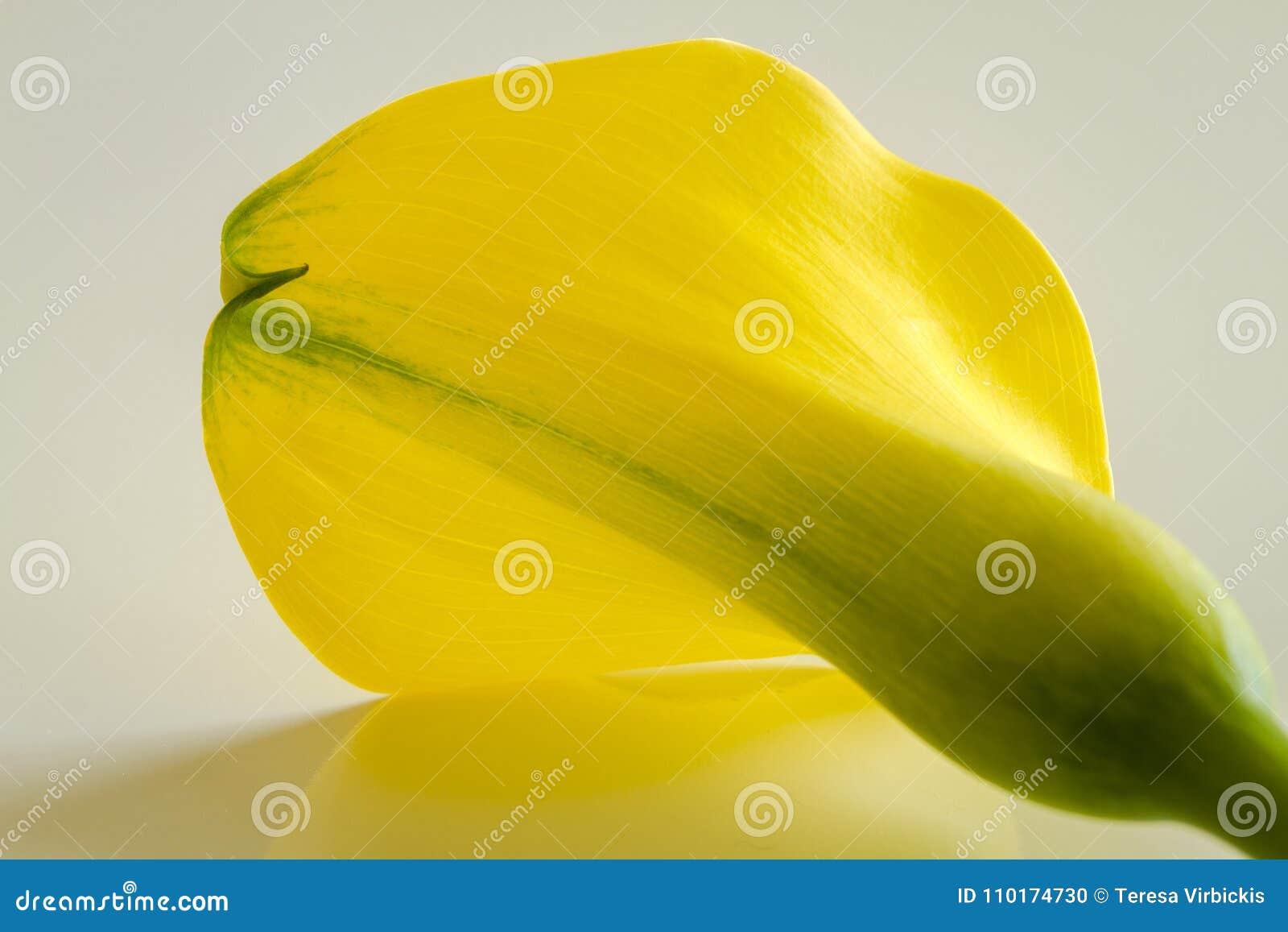 Macro Photos Of Yellow Calla Lily Flowers Stock Photo Image Of