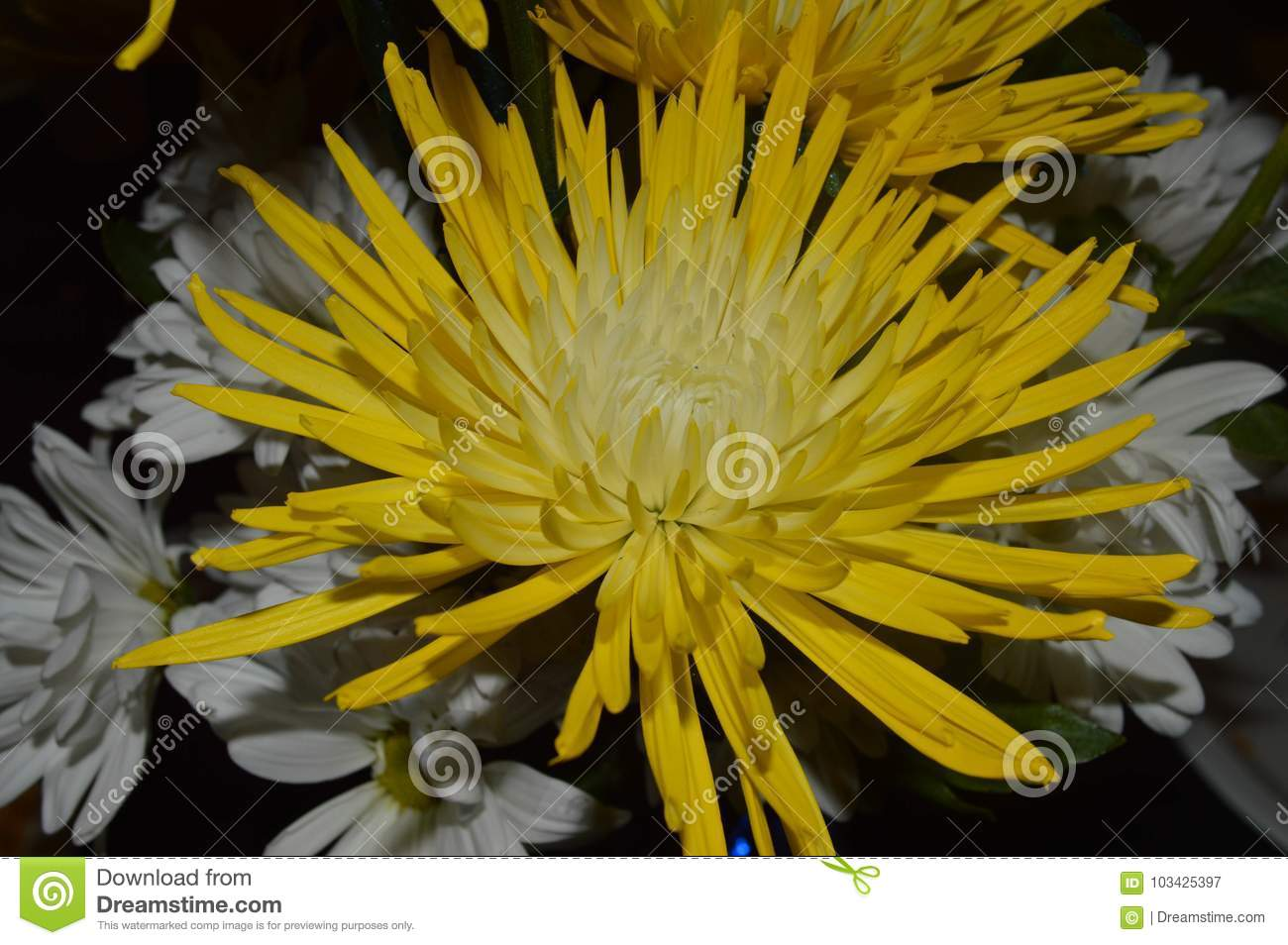 Close Up Of A Yellow Chrysanthemum Spider Flower For A Wedding Stock