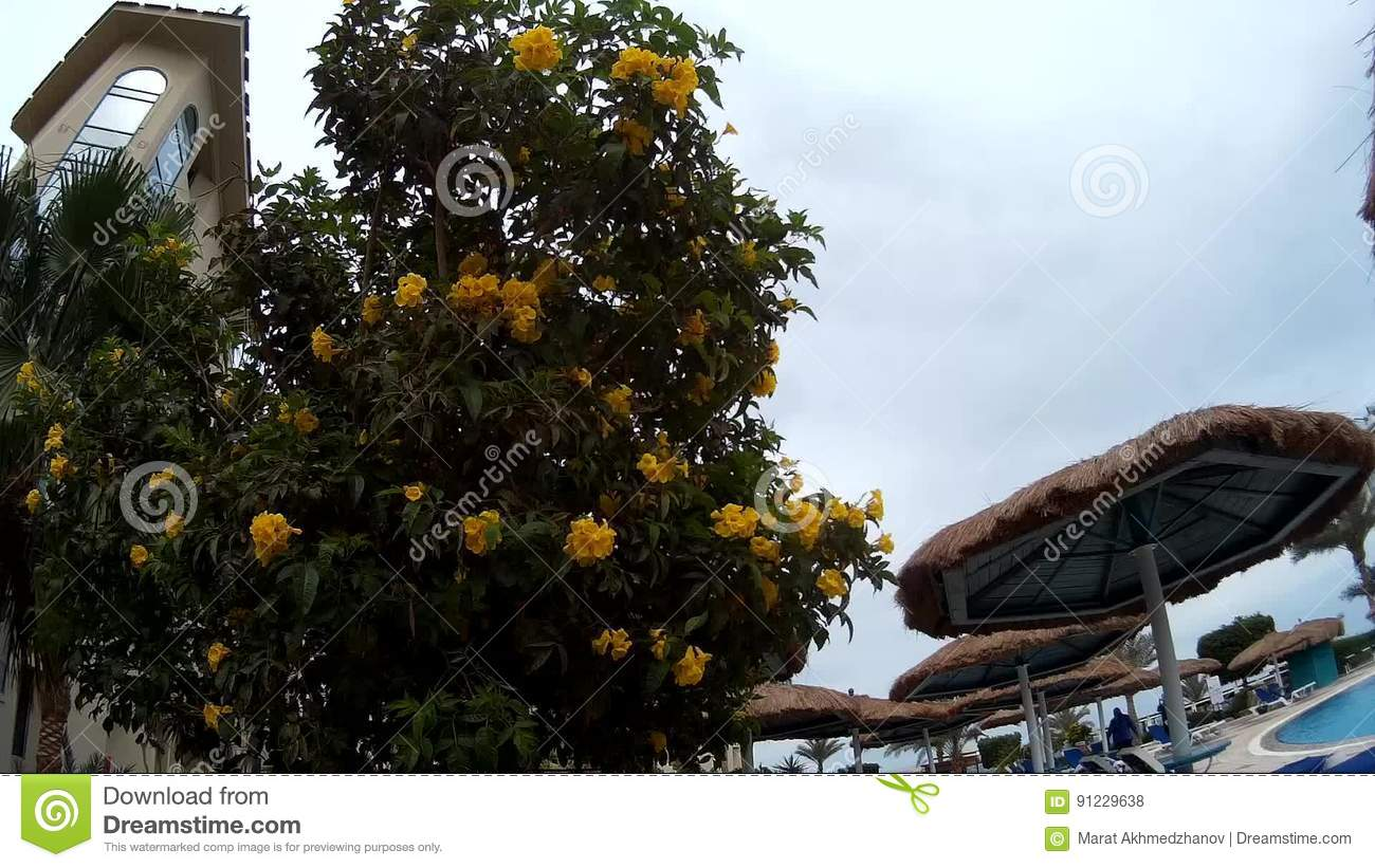 Close up of yellow flower tree tecoma in a hotel stock footage close up of yellow flower tree tecoma in a hotel stock footage video of floral blossom 91229638 mightylinksfo Gallery