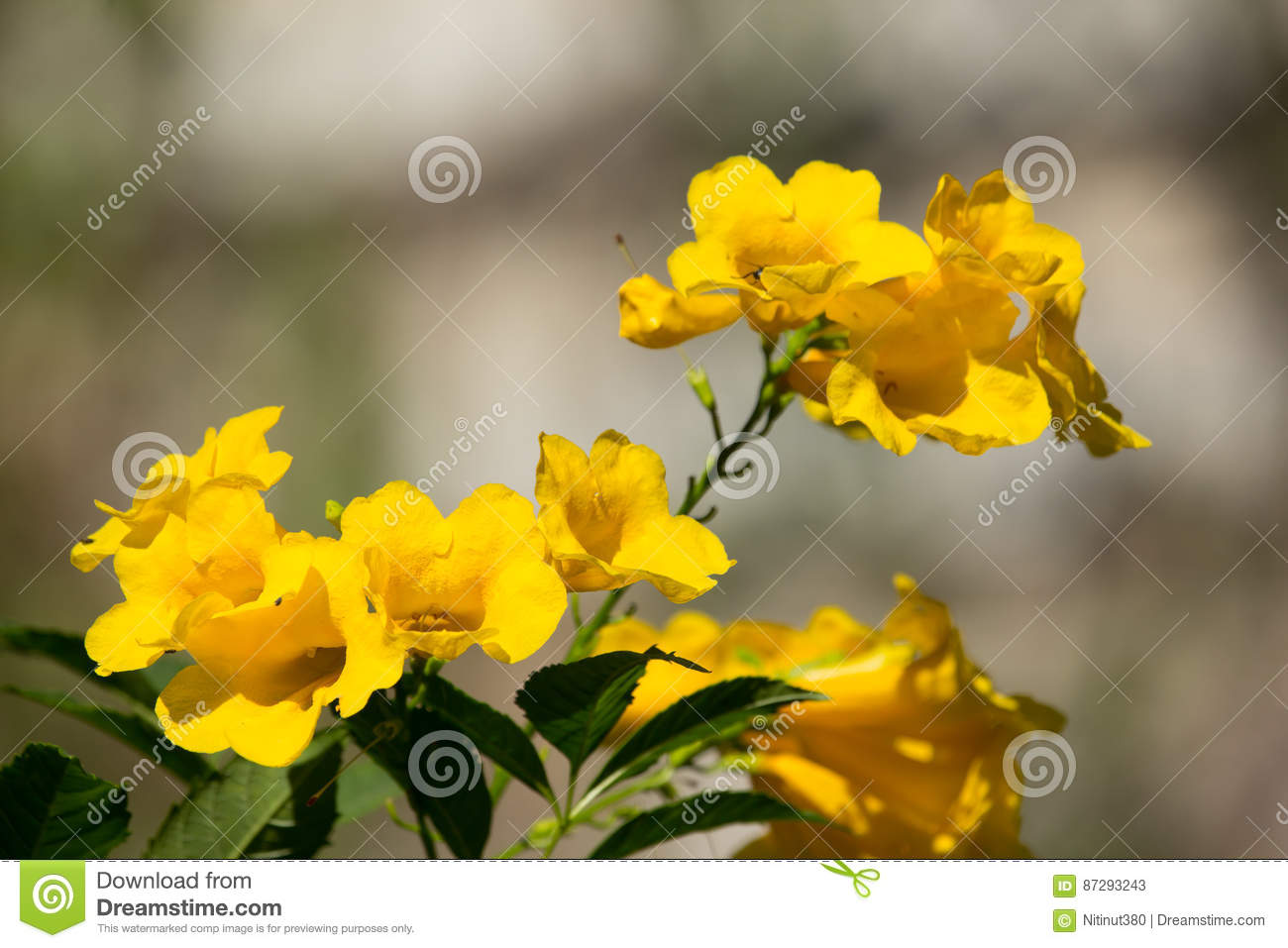 Close Up Of Yellow Flower Yellow Elder Stock Image Image Of