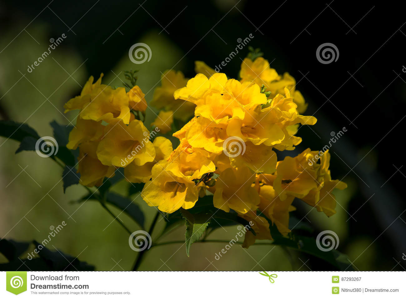 Close Up Of Yellow Flower Yellow Elder Stock Image Image Of Plant