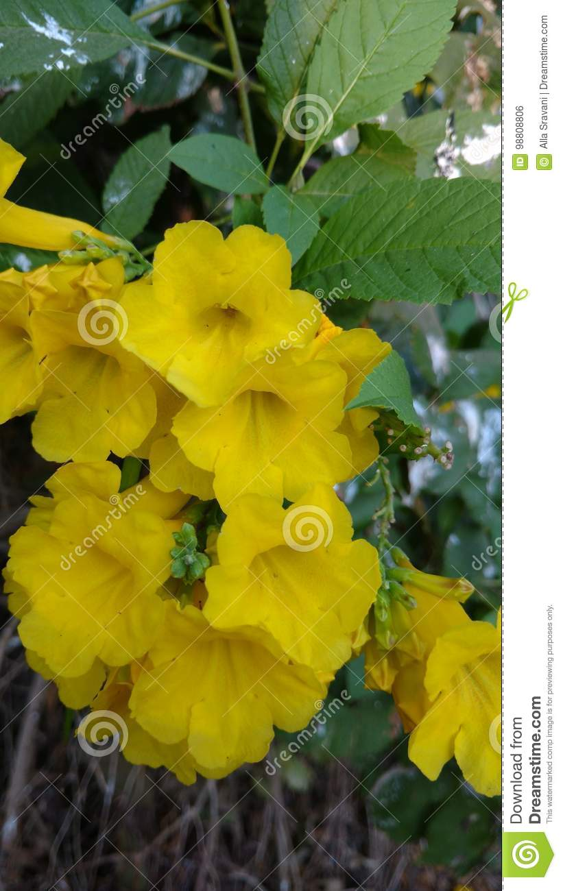 Yellow Elder Or Trumpet Flower Or Tecoma Stans Stock Photo Image