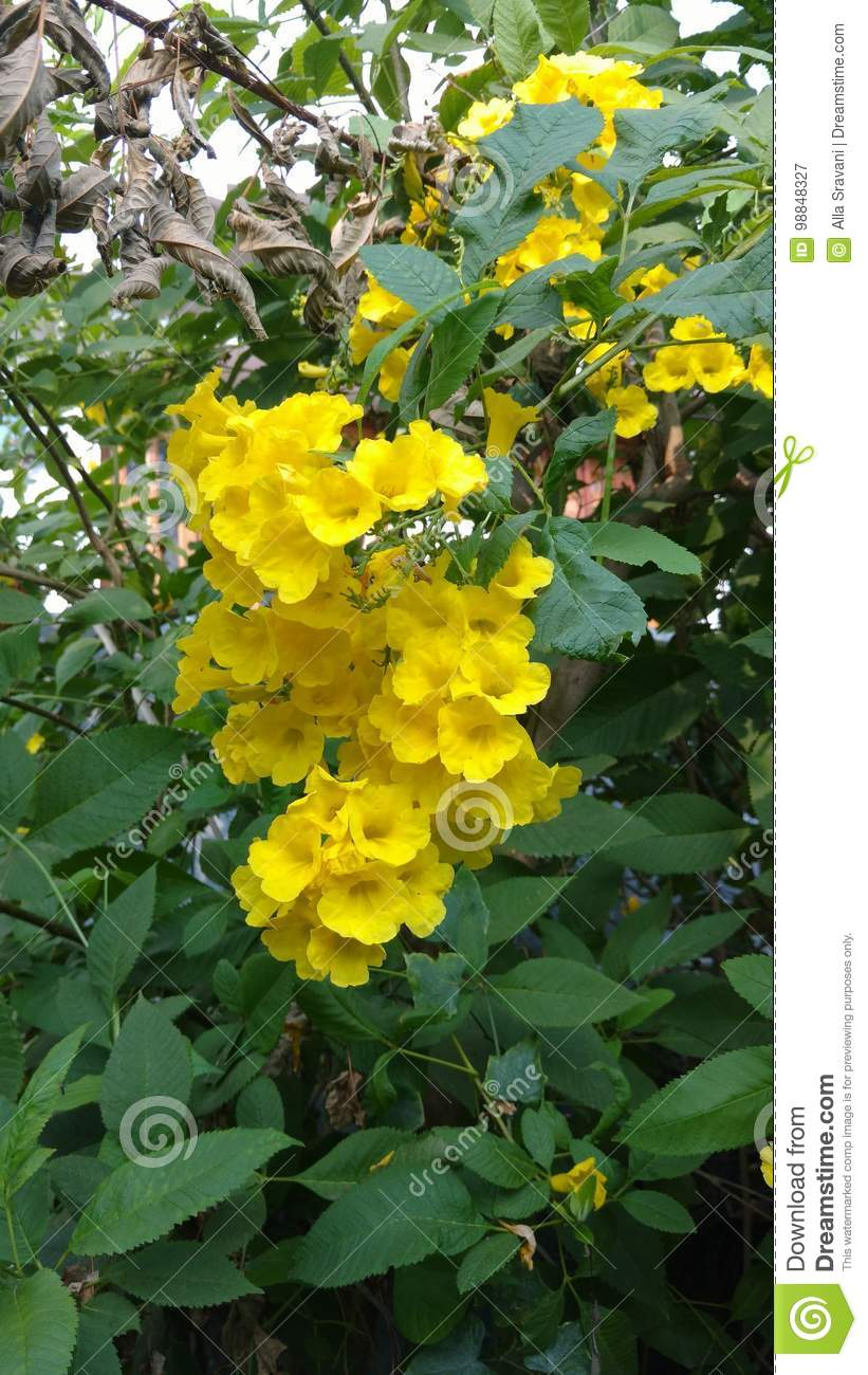 Yellow Elder Or Trumpet Flower Or Tecoma Stans Stock Image Image