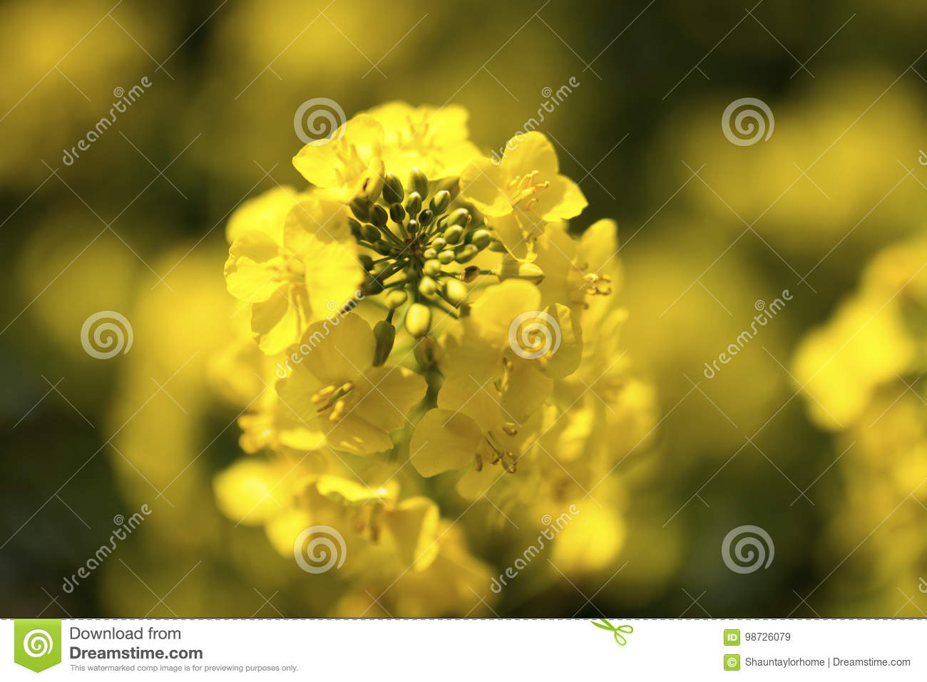 Close Up Of A Yellow Flowering Seed Plant Stock Image Image Of