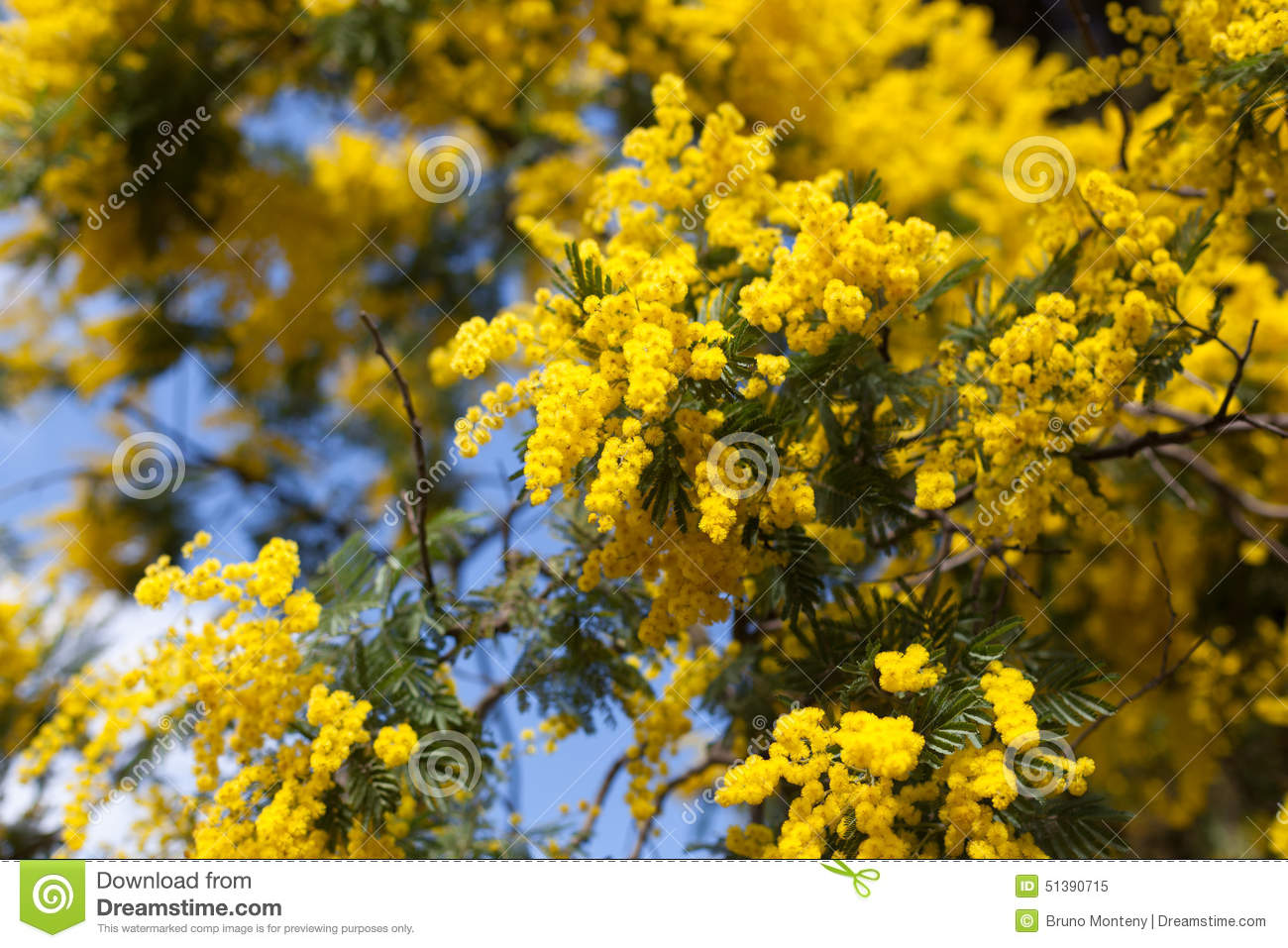 Close Up Of Yellow Flowers On Acacia Tree Stock Image Image Of