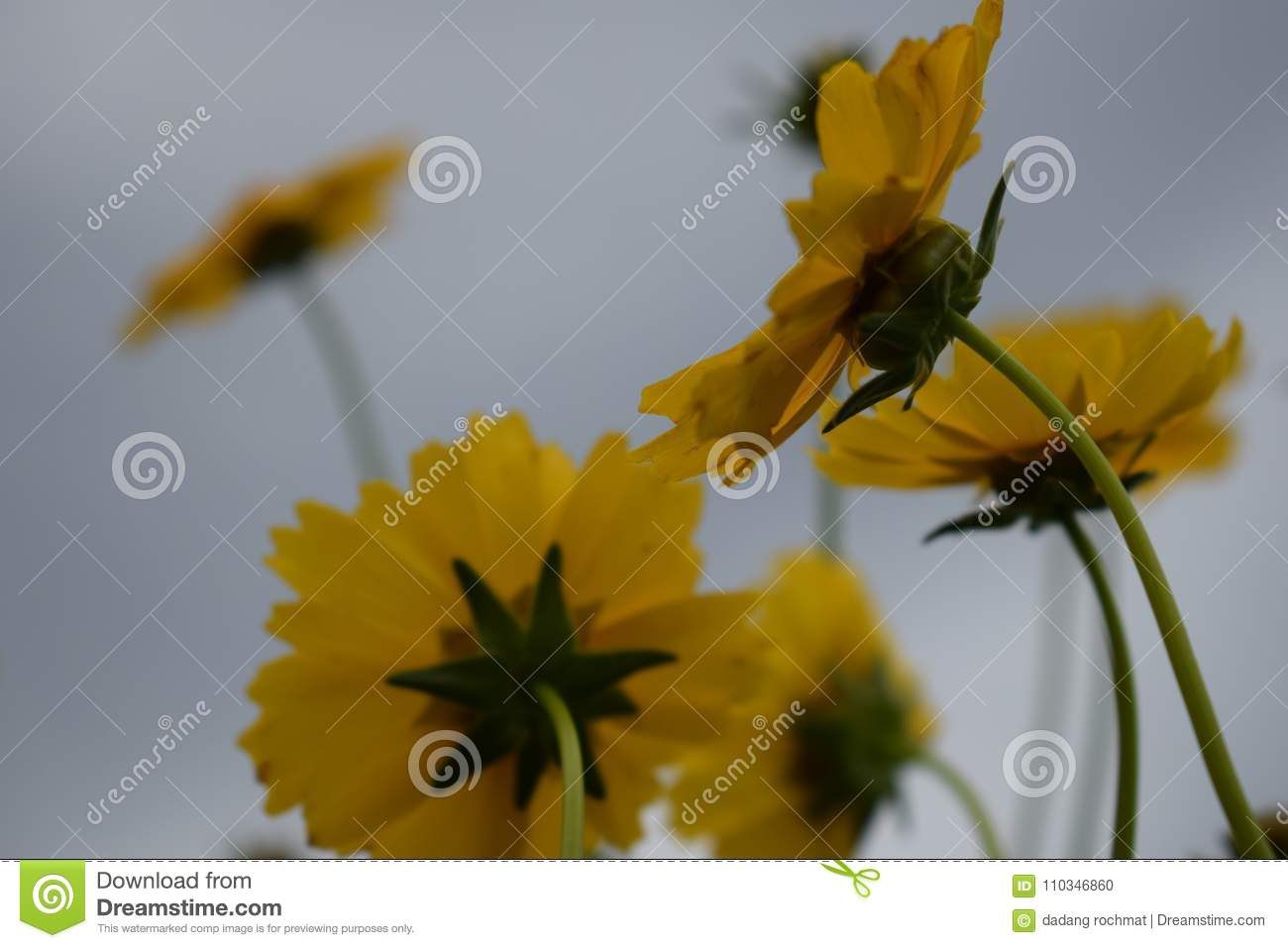 Close Up Yellow Flowers In The Garden Soft Light Stock Photo Image