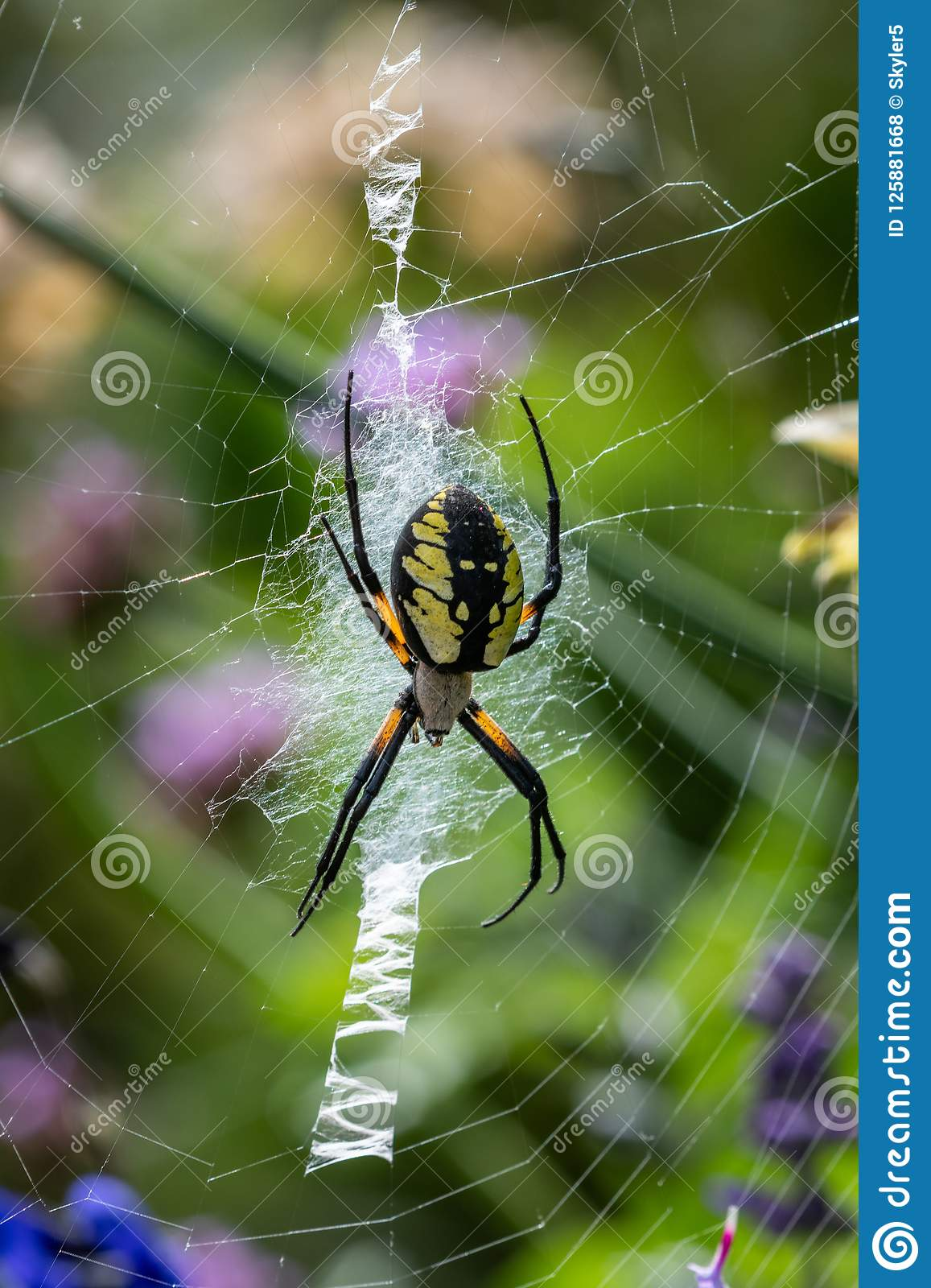 Yellow Garden Spider In Nature Stock Photo Image Of Forest