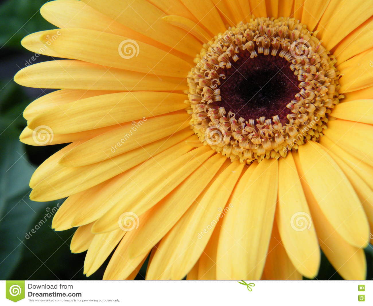 Close Up Of Yellow Gold Gerber Daisy Flower Blossom Bloom Stock
