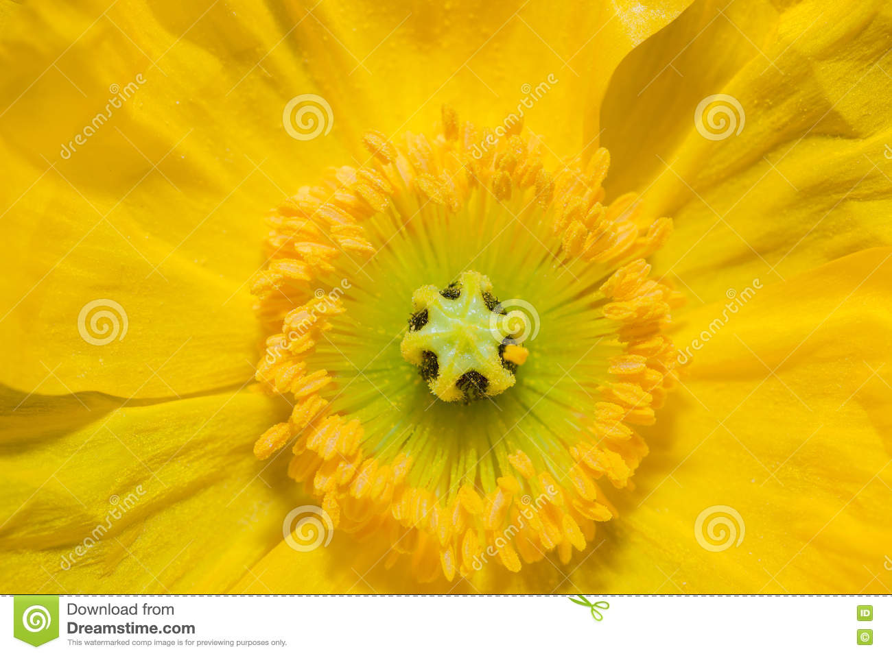 Close Up Of A Yellow Iceland Poppy Flower Stock Image Image Of