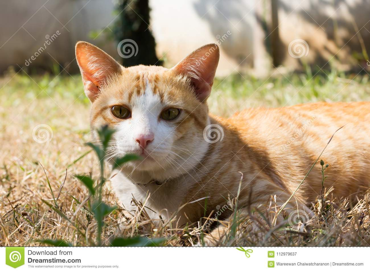 Close-up yellow light brown cat at the face, cat on dry grass field