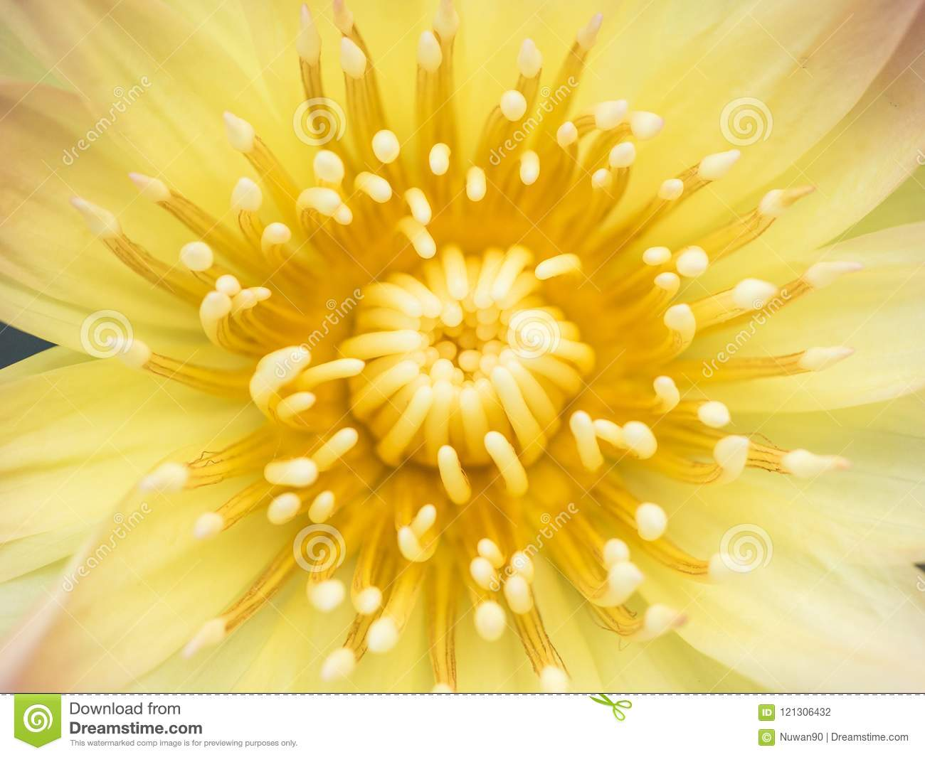 Close Up Of Yellow Lotus Flower Stock Photo Image Of Peaceful
