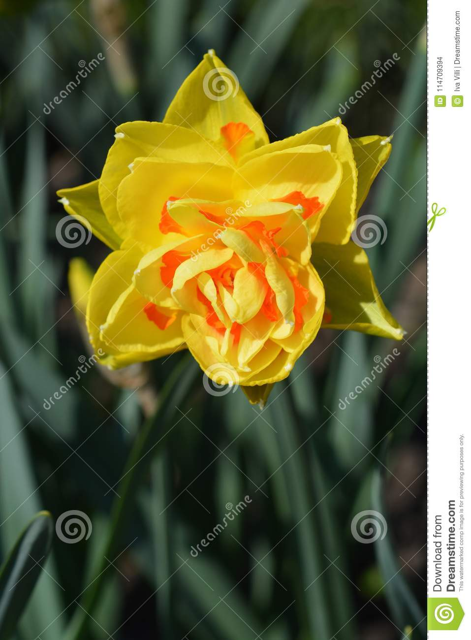 Tahiti Daffodil Stock Photo Image Of Double Garden 114709394
