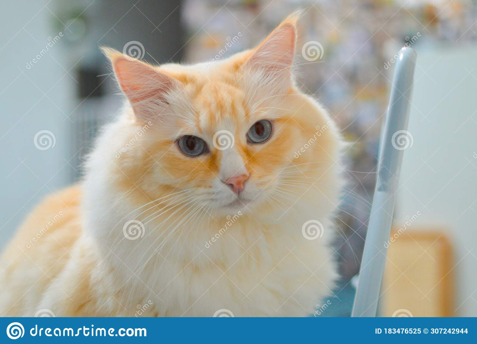 Close Up Of Yellow Ragdoll Cat S Head Beautiful Blue Eyes Stock Image Image Of Blue Cute 183476525