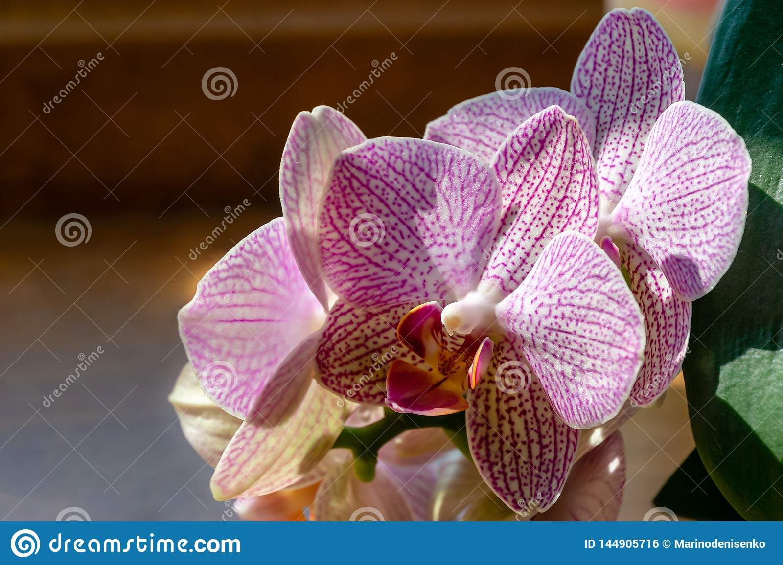 Close Up Of Yellow Red Pink And White Striped With Points Orchid