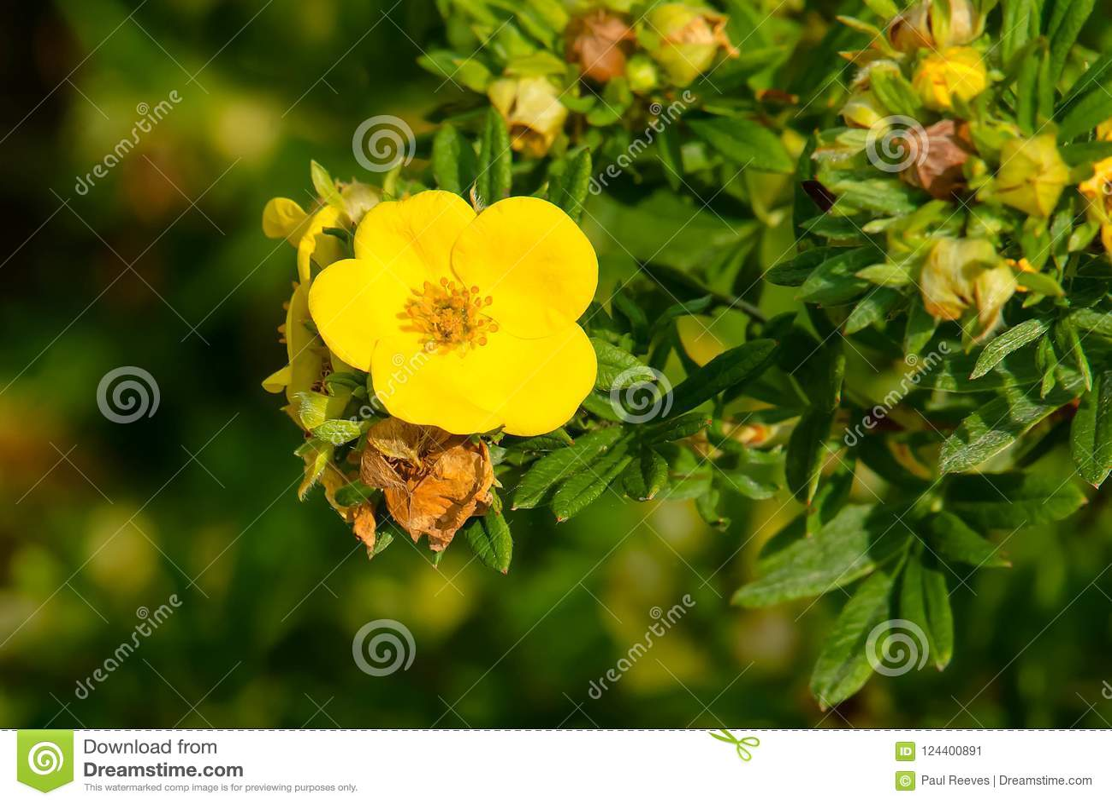 Shrubby Cinquefoil Dasiphora Fruticosa Stock Image Image Of