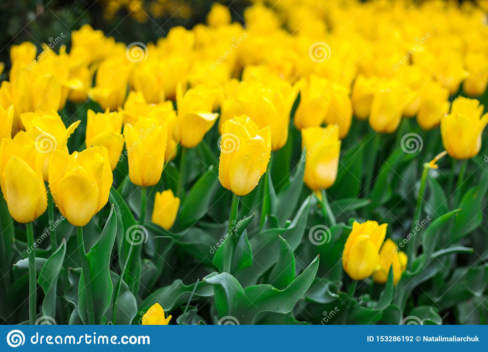 Close up of yellow tulips field after rain