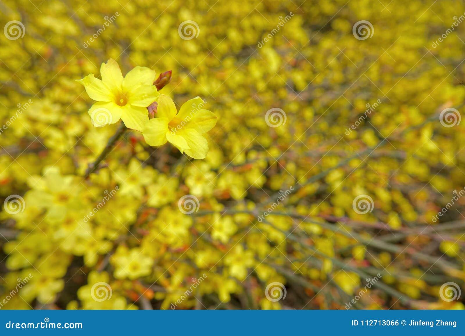 Winter Jasmine Flower Stock Photo Image Of Yellow Flowers 112713066