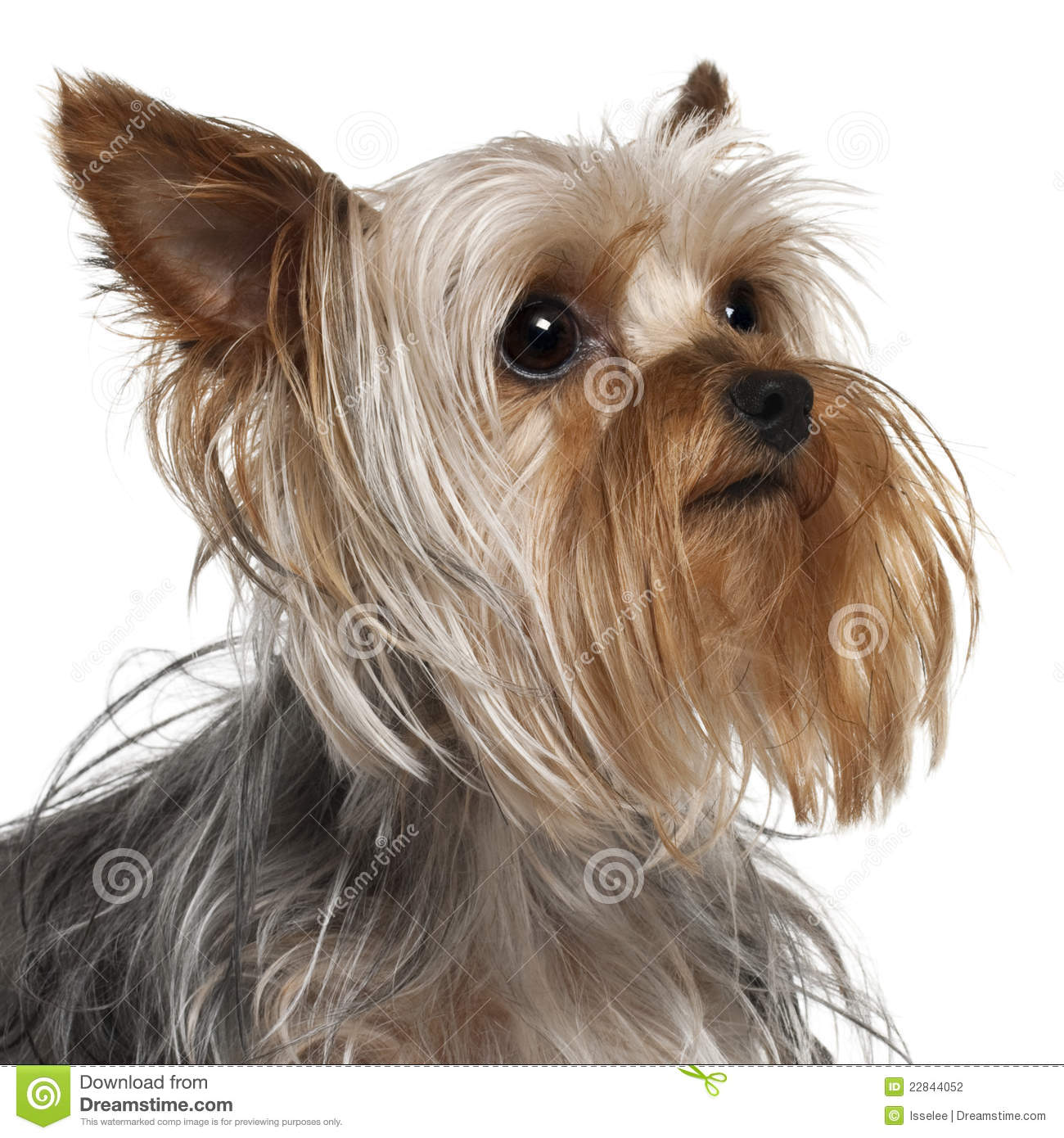 Close-up Of Yorkshire Terrier, 1 Year Old Stock Photo ...