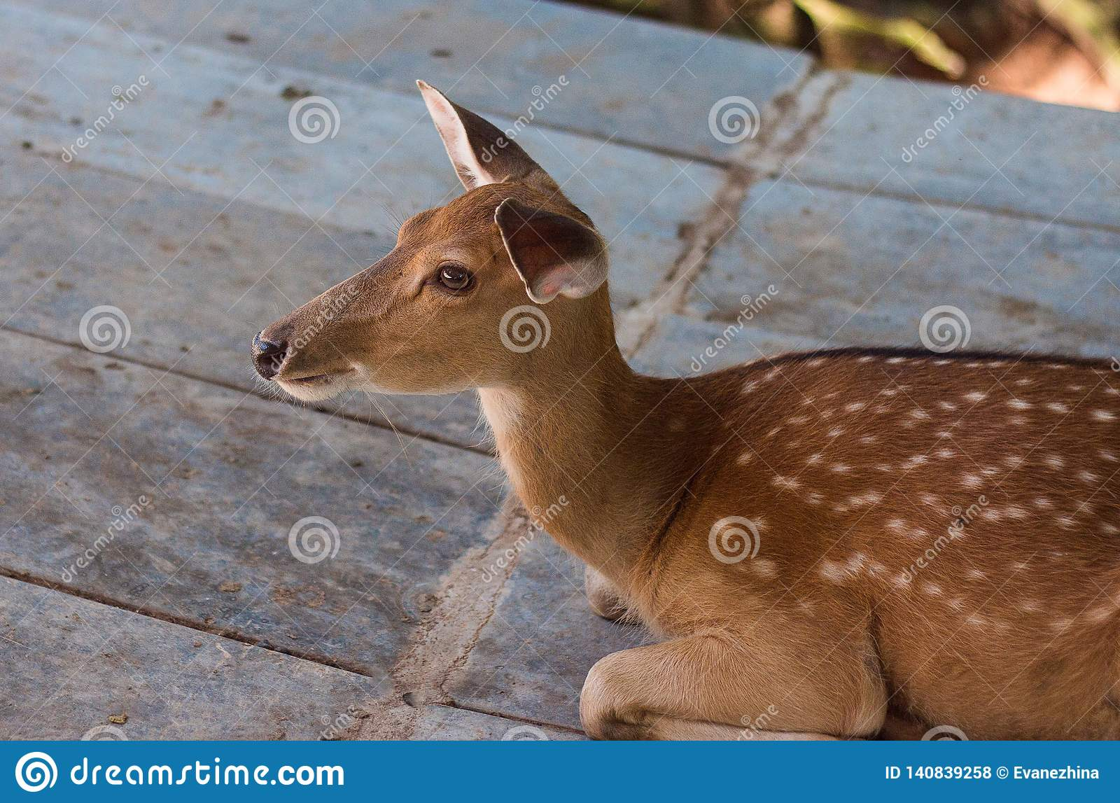 Close-up of young brown deer in zoo