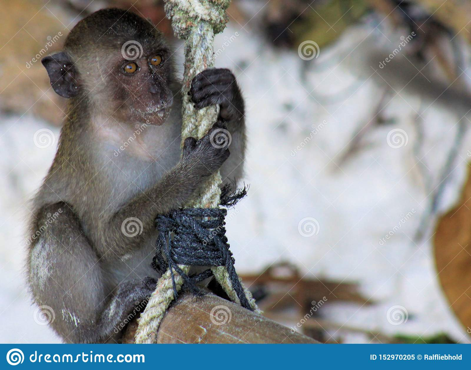 Close up of young sandy crab eating long tailed Macaque Macaca fascicularis swing on a rope on beach