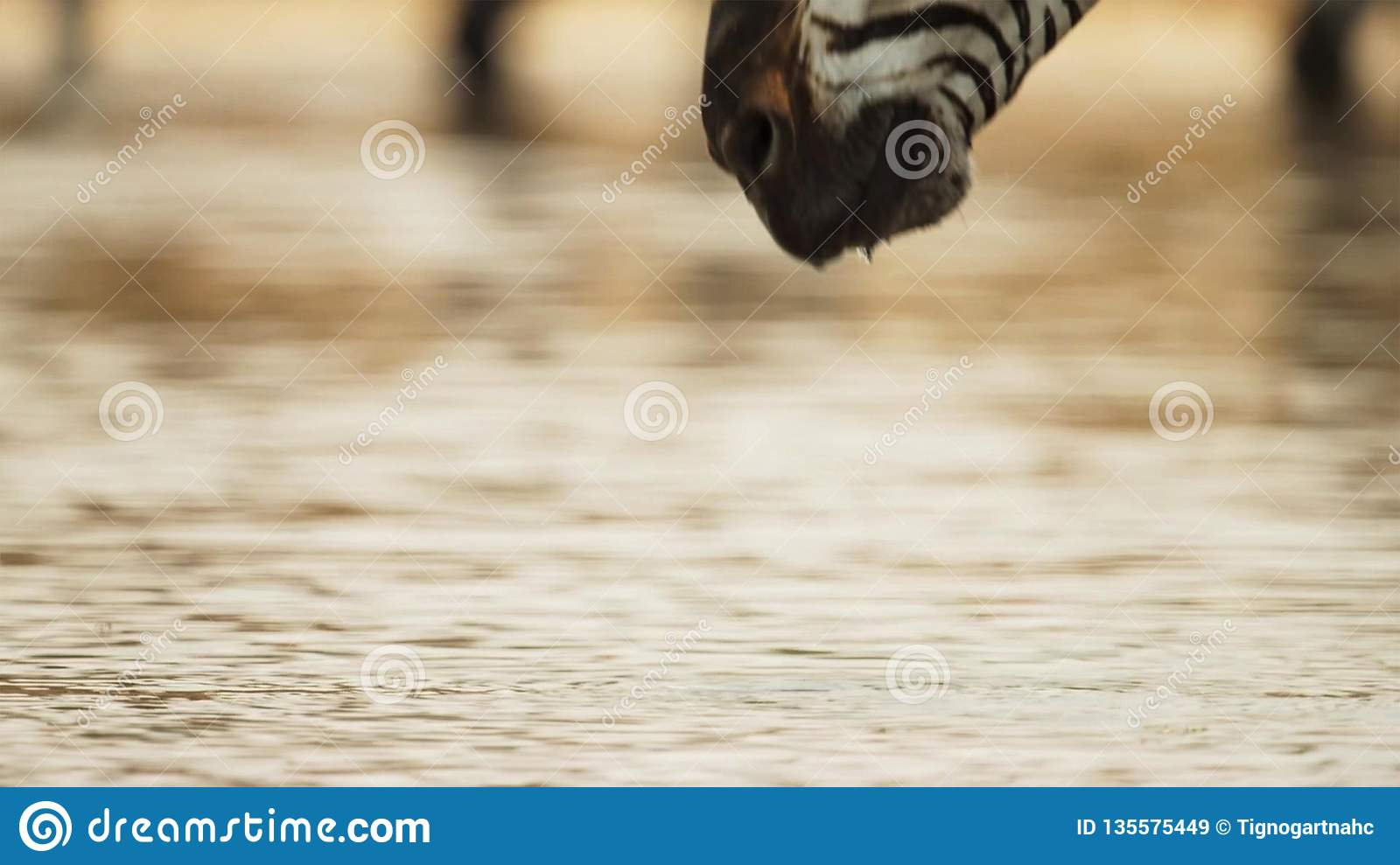 Close Up of Zebras Head Drinking Water at Watering Hole
