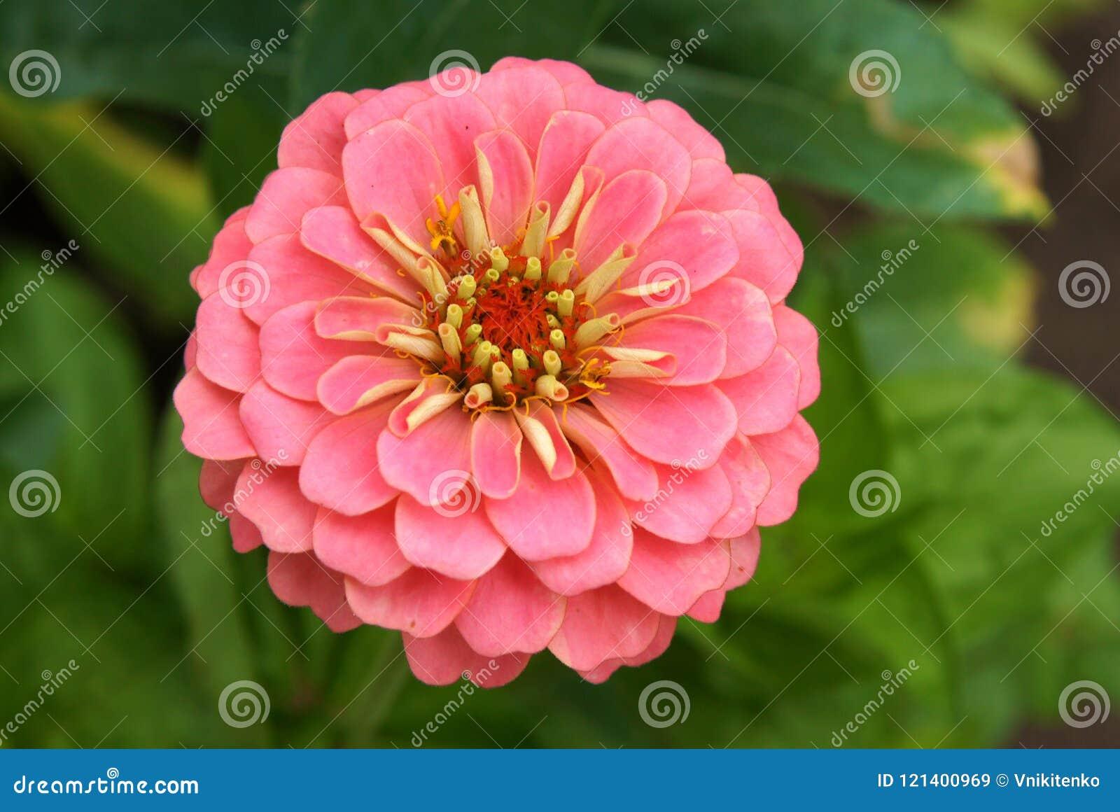 Close up of a zinnia flower