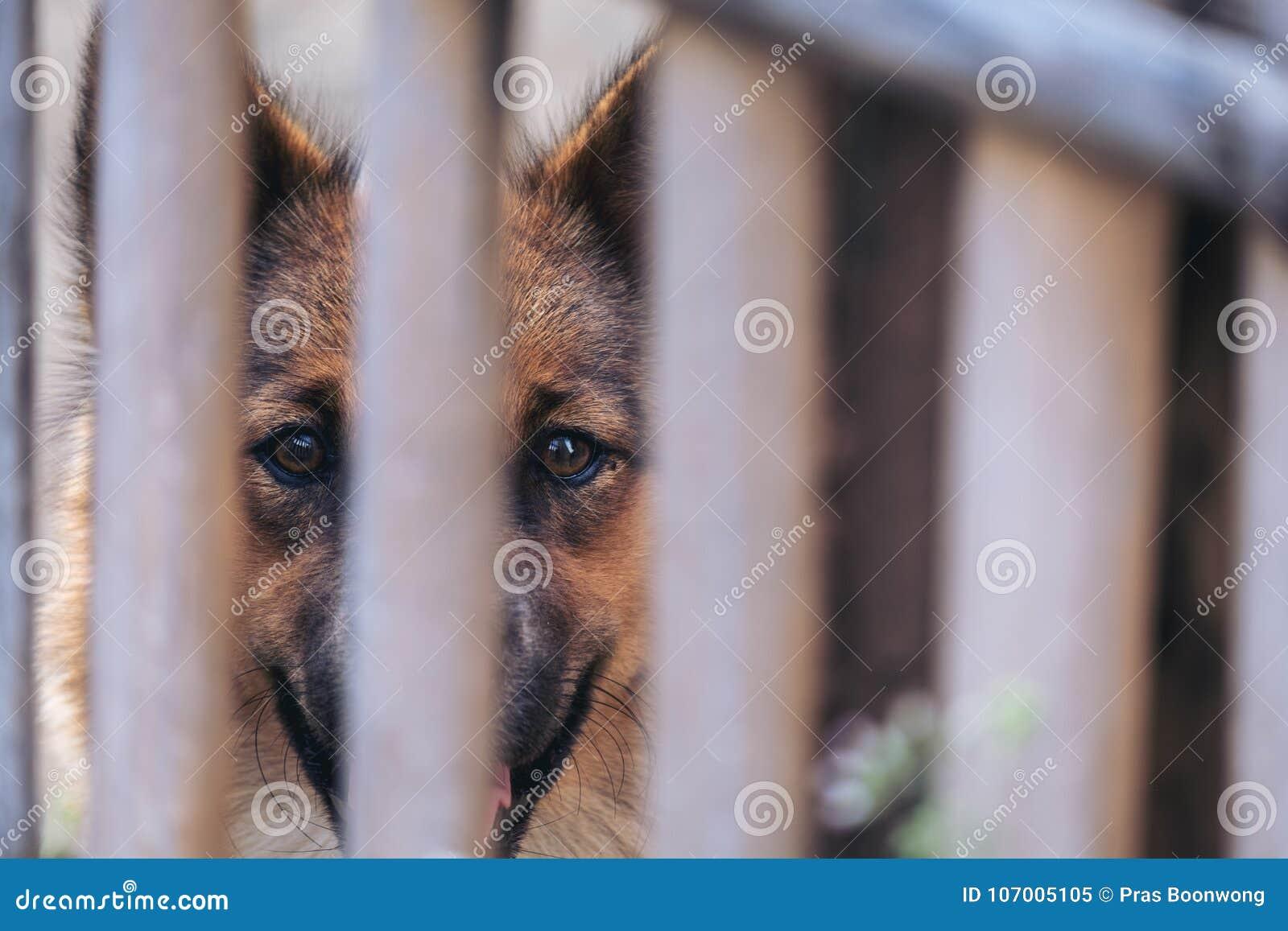 Close-upbeeld van een zwarte en bruine Thaise hond in een houten kooi