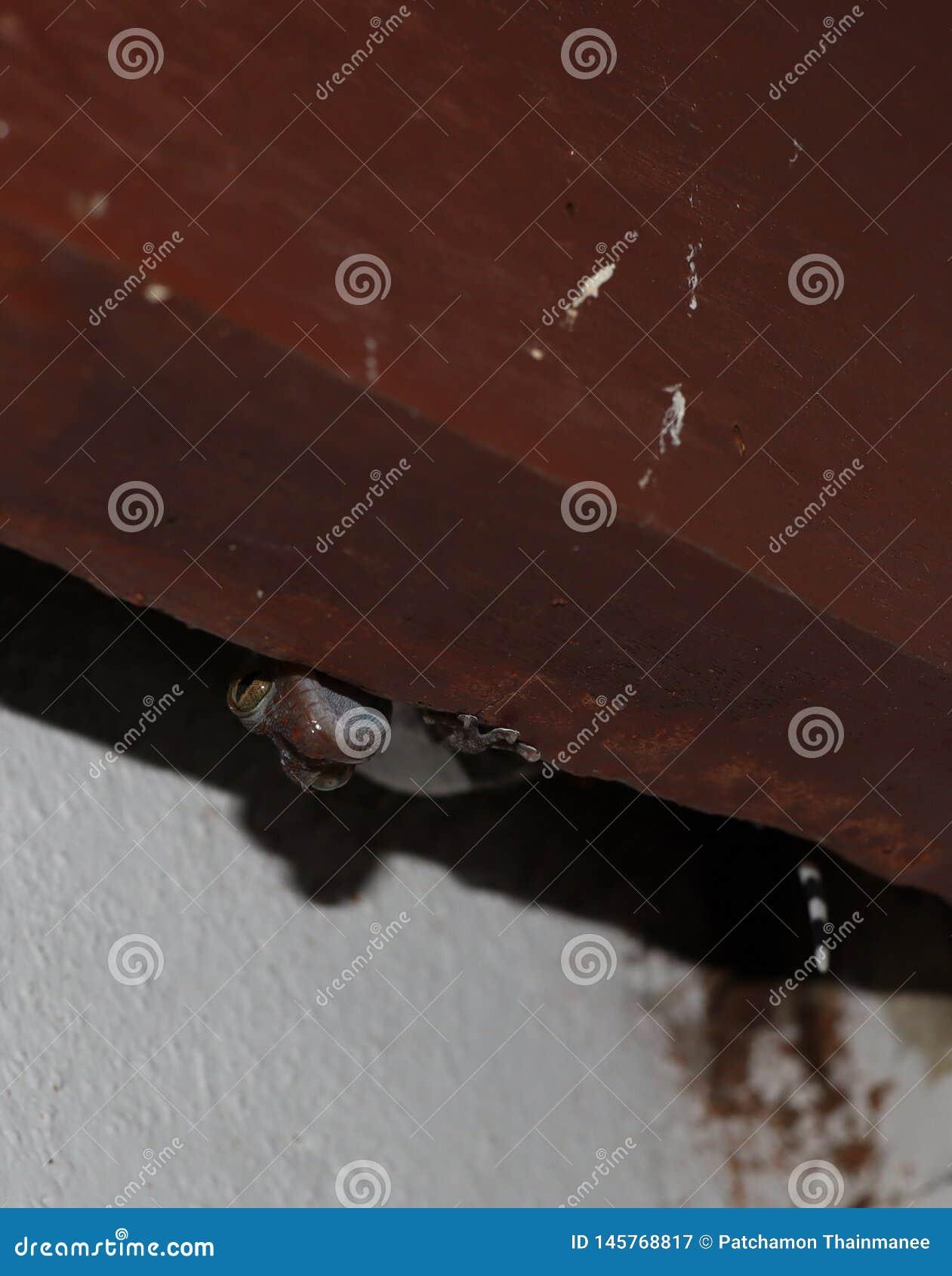 Close-upbeelden van enge dierlijke gekko s die achter de planken heimelijk nemen