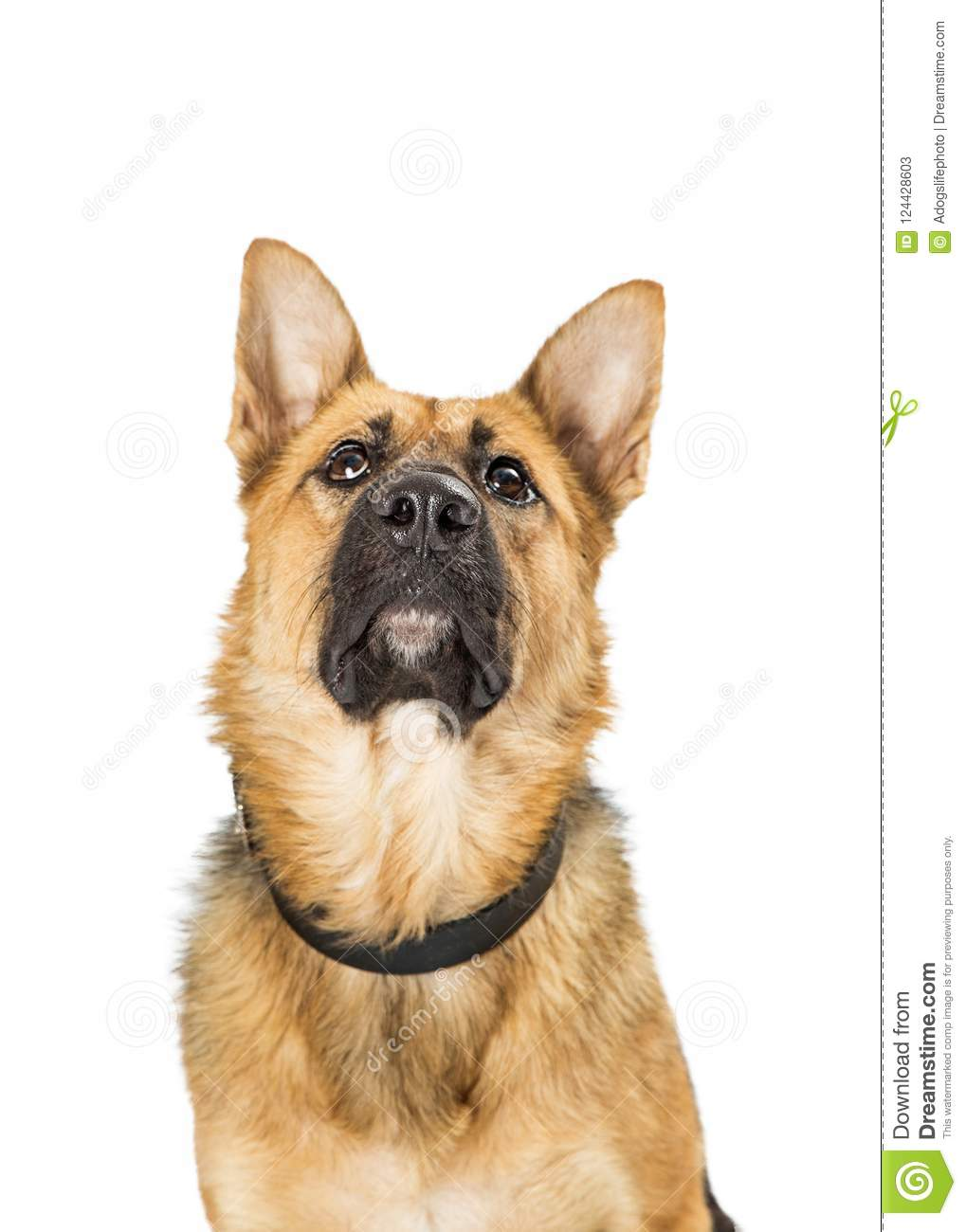 Close-upduitse herder Crossbreed Dog Looking omhoog