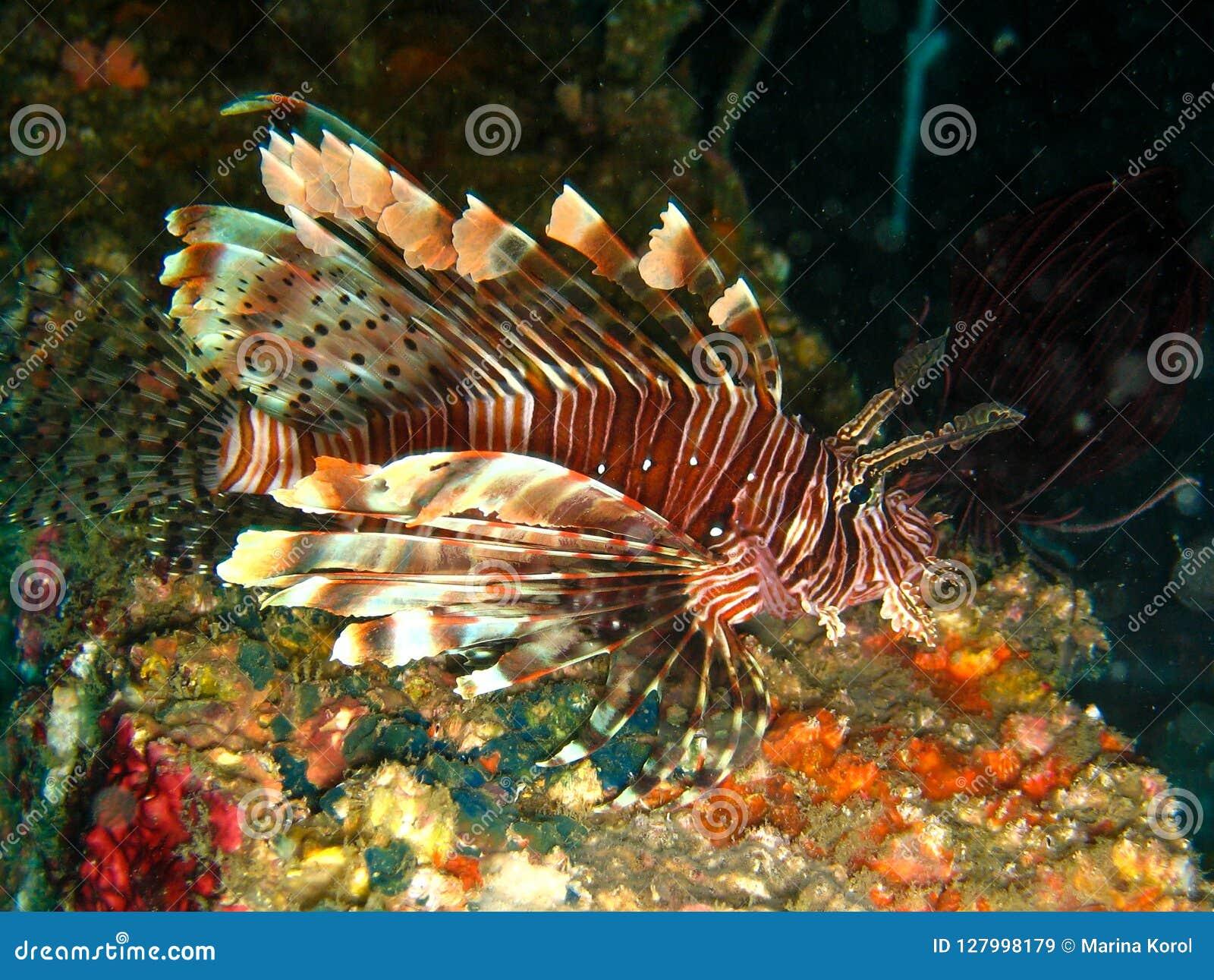 Close-upfoto van leeuw-vissen bij nacht met vleeslichten Het ` s op de kleurrijke koraalachtergrond