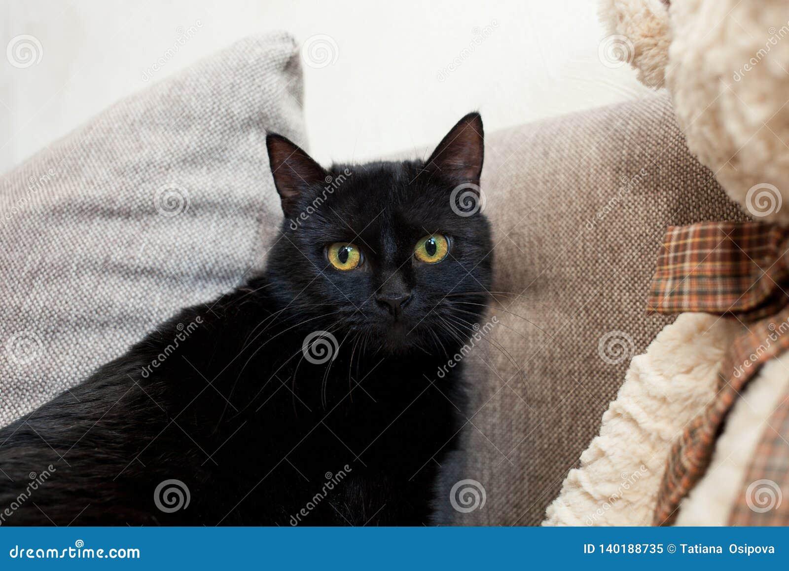 Close upp svart katt med gula ögon i ett nytt hem Mentala och emotionella problem av katter