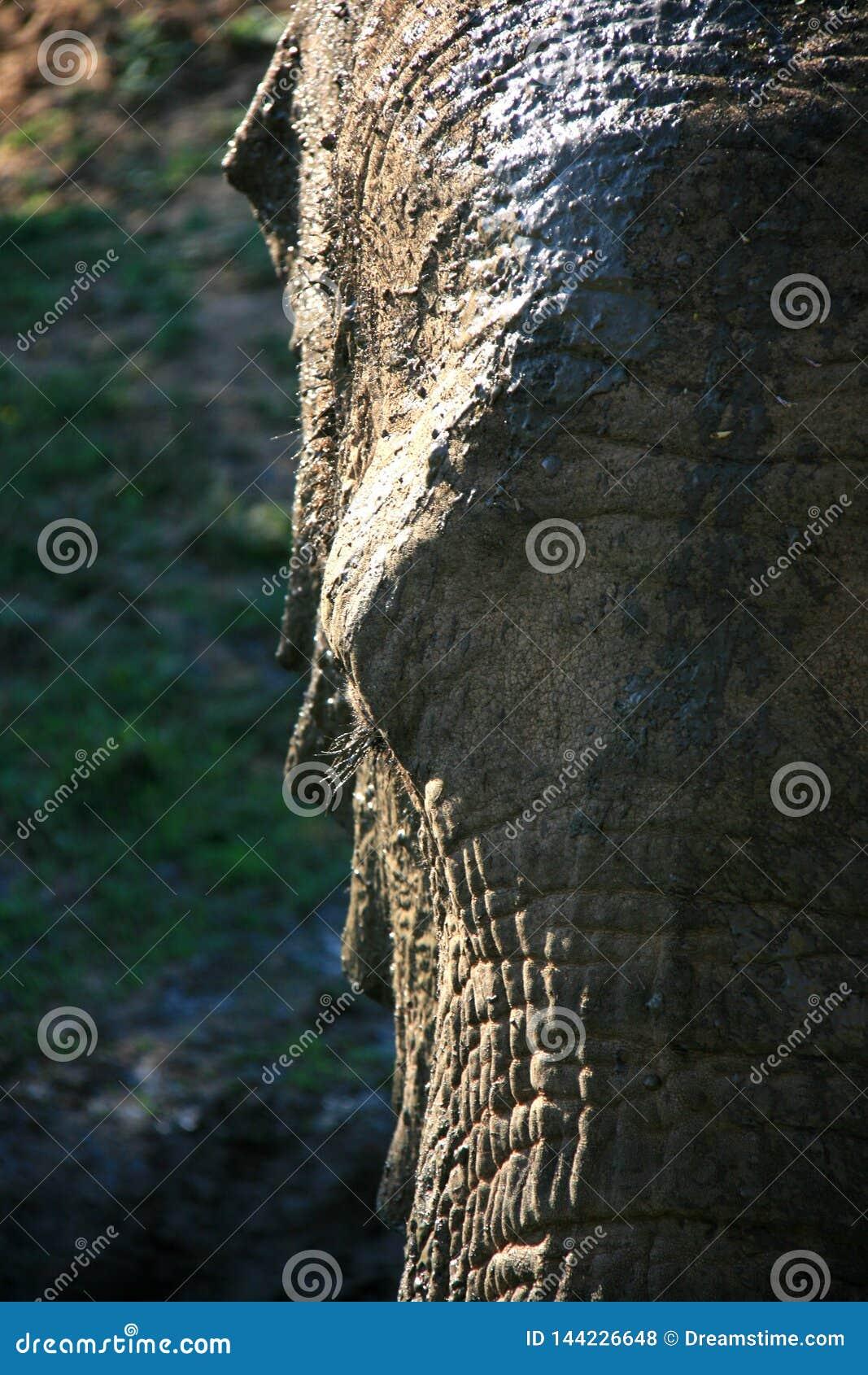 Close-upportret van Afrikaanse olifant met gedeeltelijk gezicht die in tegenstelling aansteken