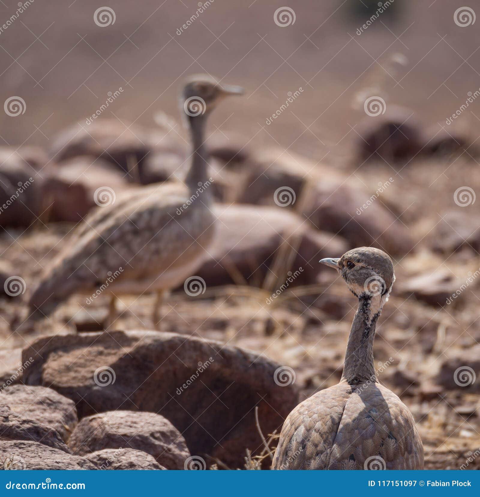 Close-upportret van twee Rueppell ` s Trap of Heterotetrax-rueppeliivogel, Palmwag-Concessie, Namibië, Afrika