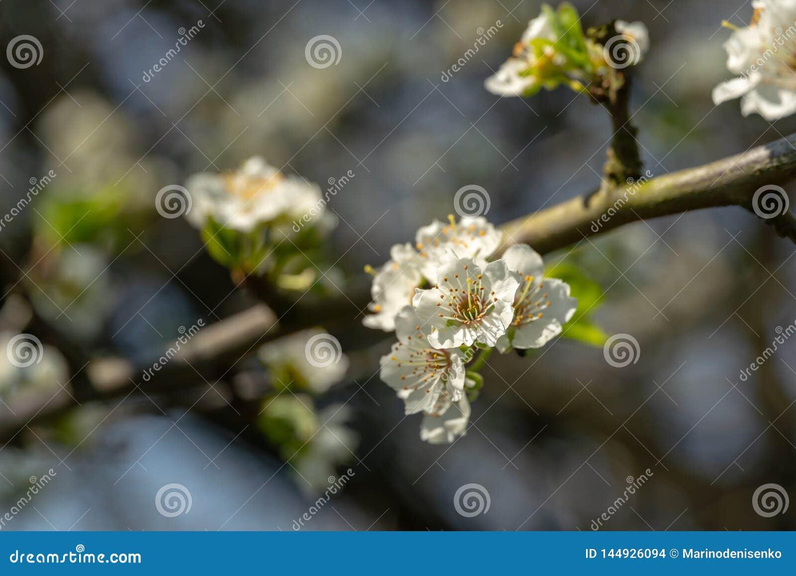 Close-uptak van witte de bloemenbloesem van de kersenpruim in de lente Partij van witte bloemen in zonnige vage de lentedag op gr