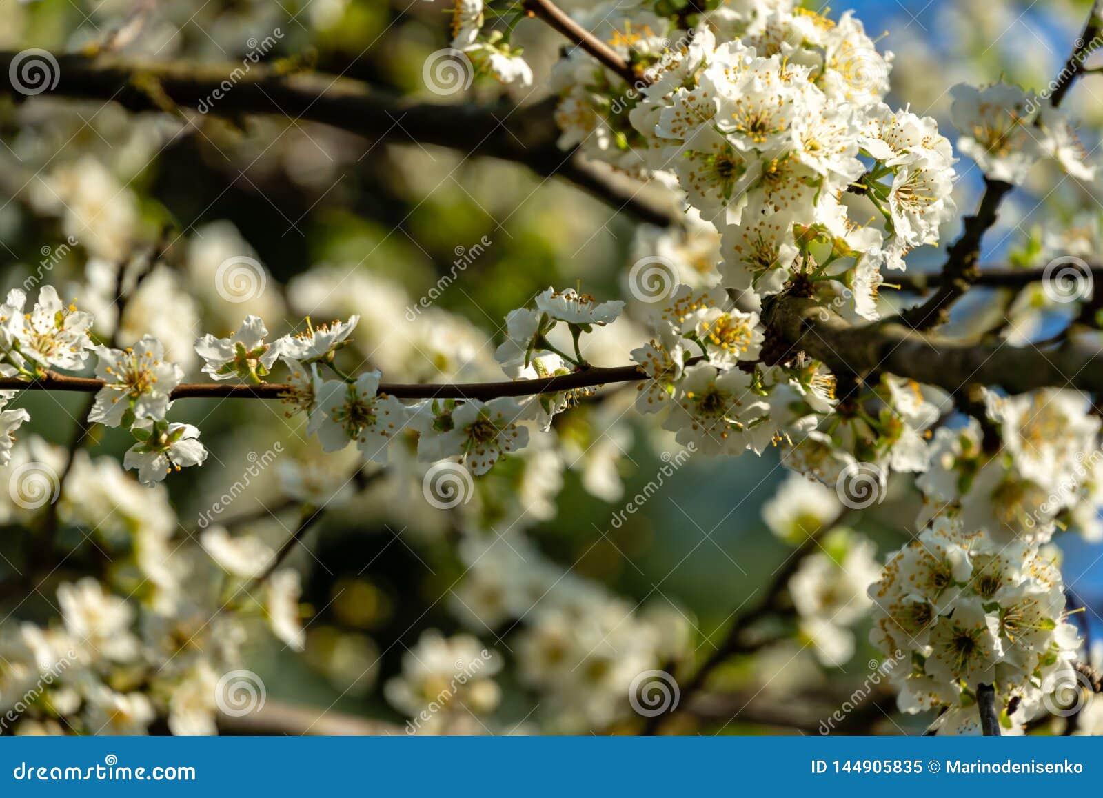 Close-uptakken van witte de bloemenbloesem van de kersenpruim in de lente De partij van witte bloemen in zonnige de lentedag op b