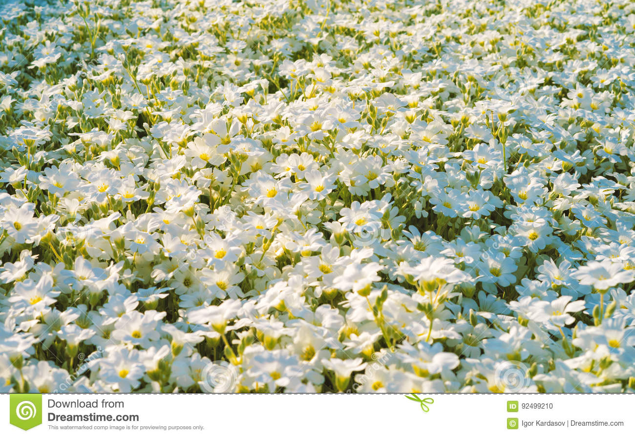 Close View Of Amazing White Flowers On The Field Stock Photo Image