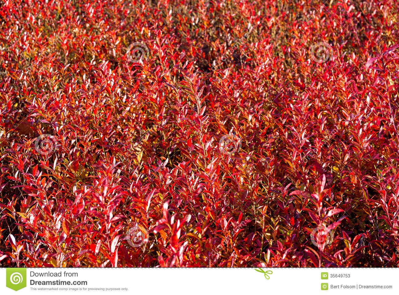 Close View Of Red Blueberry Leaves In Fall Stock Image