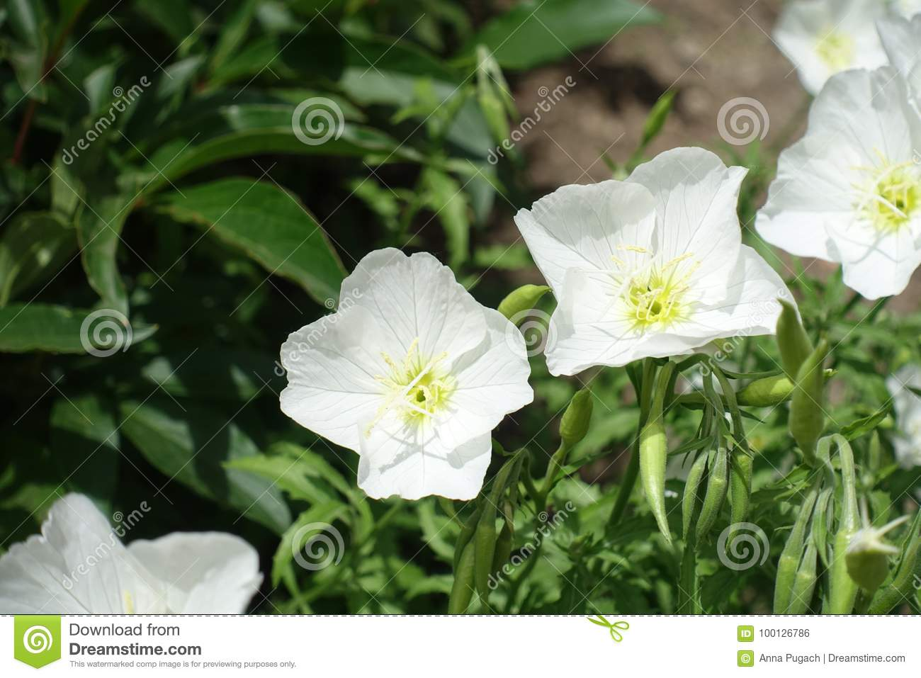 Closeup of white flowers of pinkladies stock photo image of download closeup of white flowers of pinkladies stock photo image of flowerbed inflorescence mightylinksfo