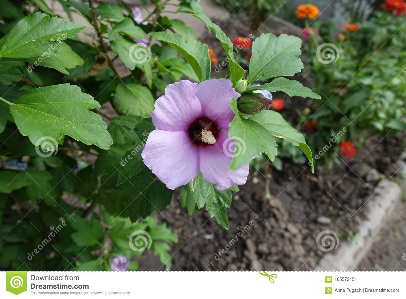 Closed bud and flower of hibiscus stock image image of botany download closed bud and flower of hibiscus stock image image of botany beautiful izmirmasajfo