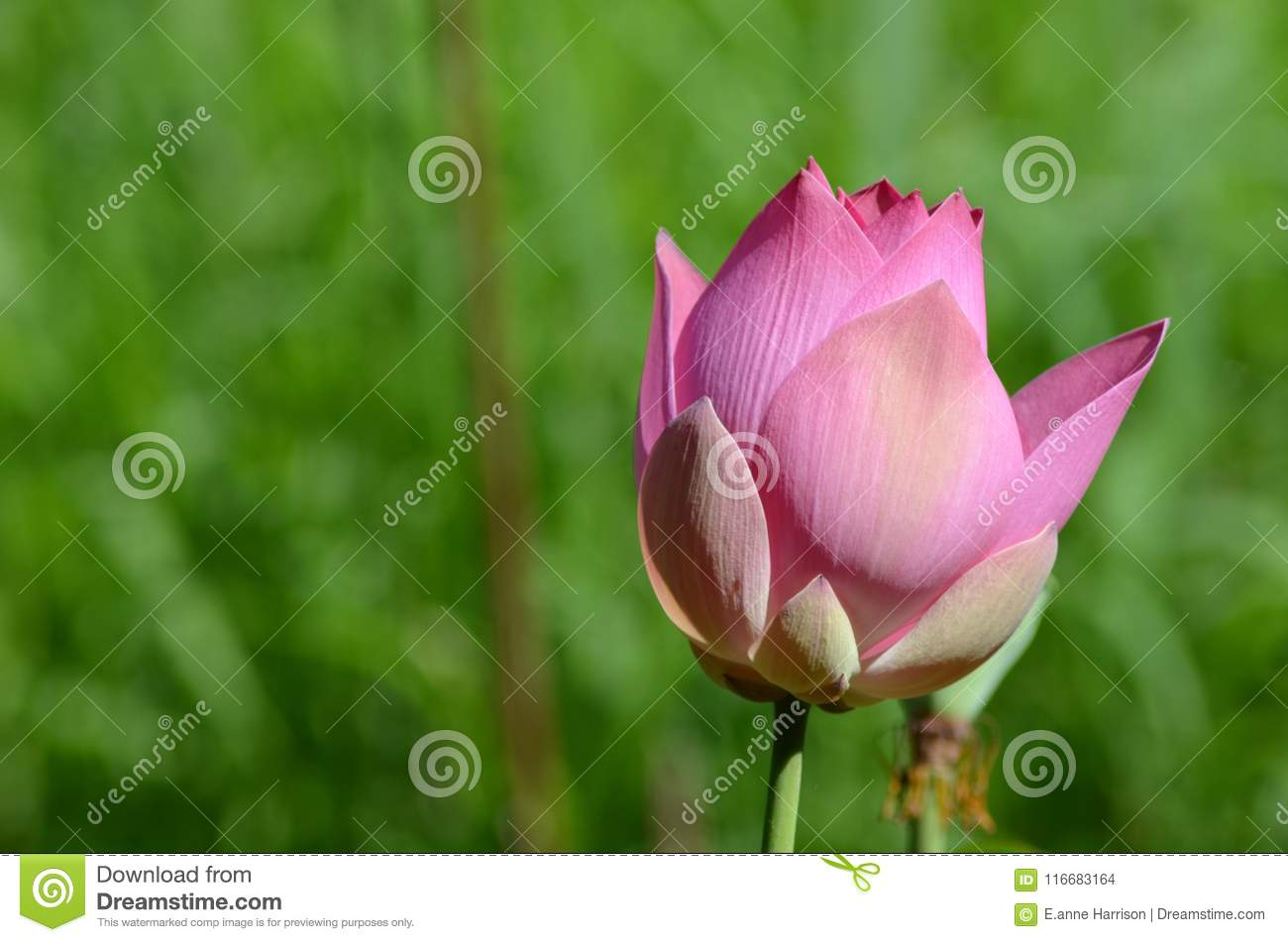 A closed pink lotus flower about to open against a green background download comp izmirmasajfo