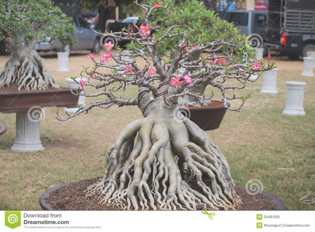 dreaming tree sweepstakes closed up big adenium obesum tree in plant contest fair of 5815