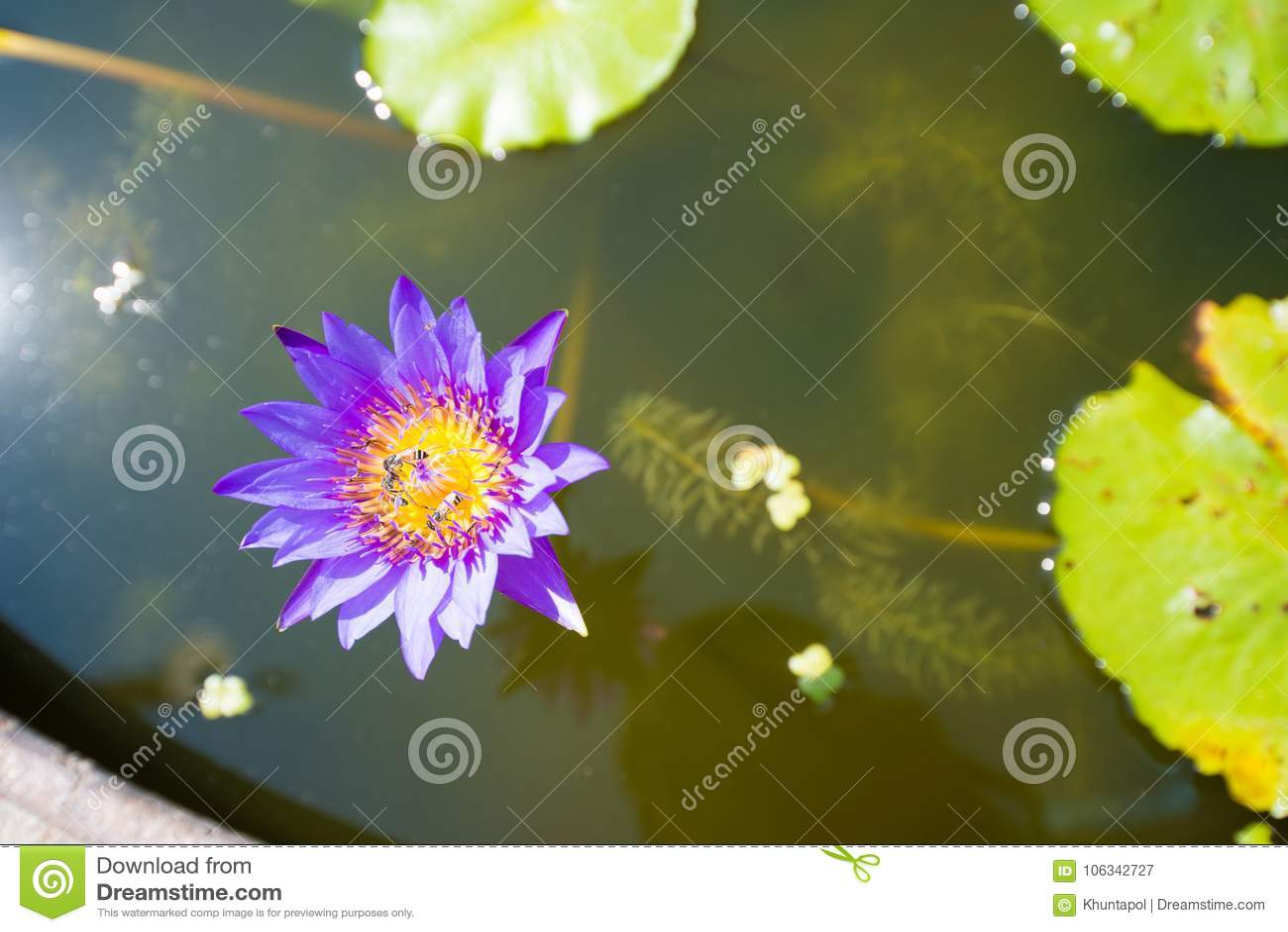 Closed Up Purple Lotus Flower Stock Image Image Of Bloom