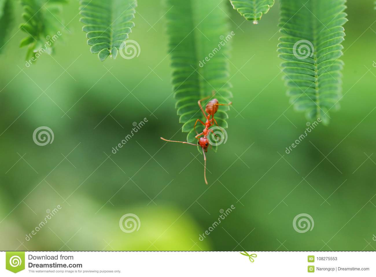 Closed Up Red Ant Stock Image Image Of Animal Black 108275553