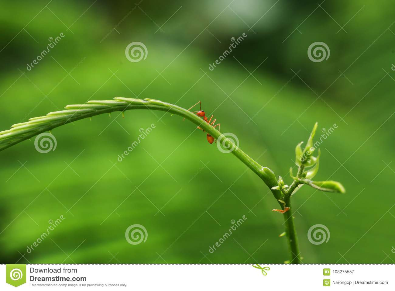 Closed Up Red Ant Stock Image Image Of Work Acacia 108275557