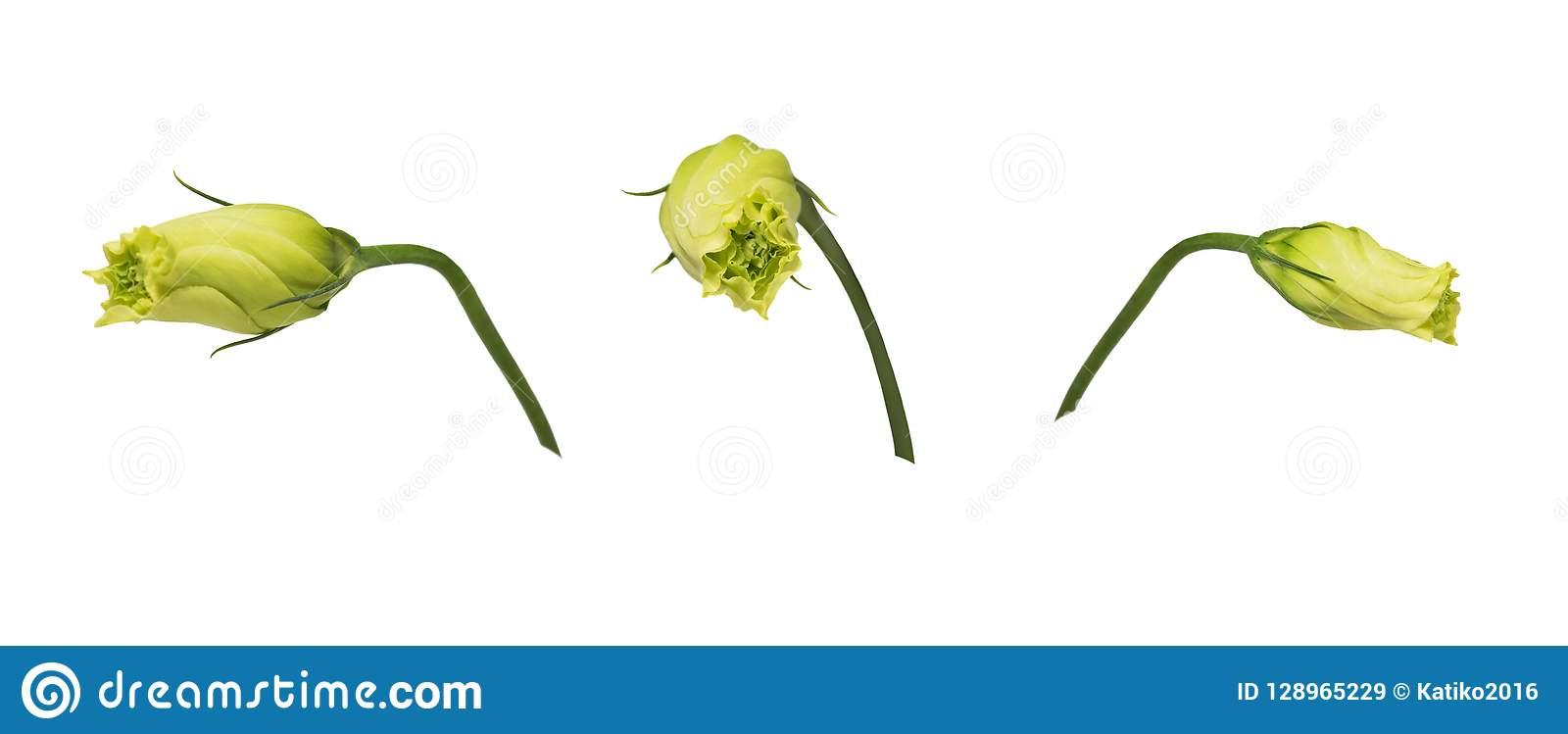 Closed yellow eustoma buds prairie gentian isolated on white background. Set of images.